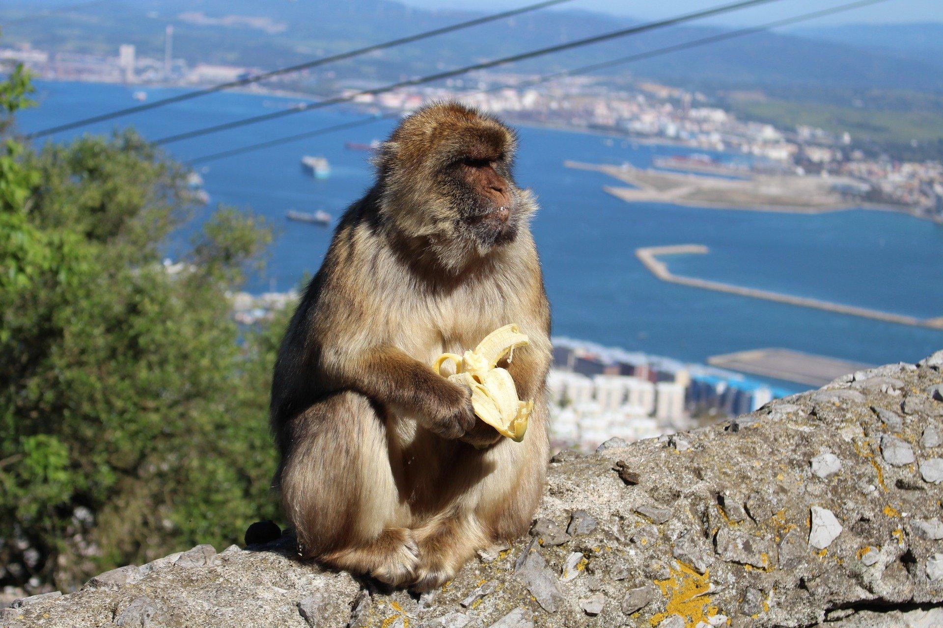 Aap op Rots van Gibraltar